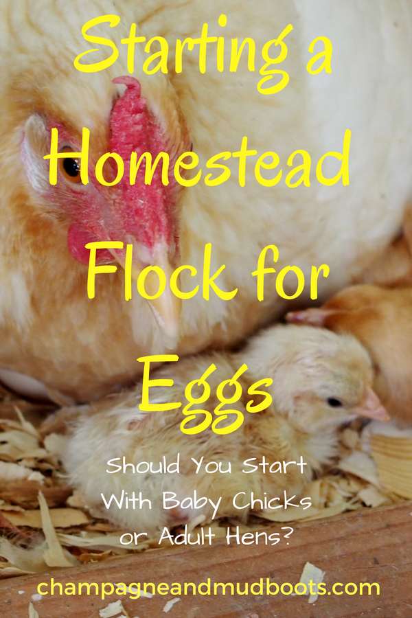 Outlines the pros and cons of starting with baby chicks or adult hens when considering how to start raising chickens for eggs for either a backyard flock or on a small farm homestead.